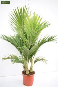 Een palmboom staat erg leuk in het interieur